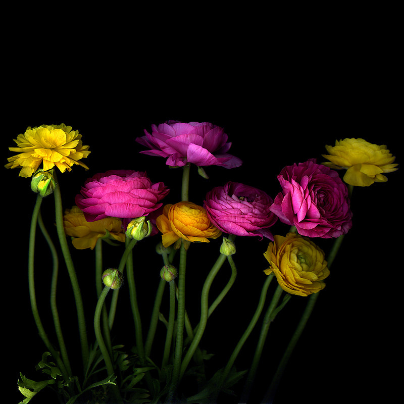 Photograph  A STUDY IN YELLOW AND PINK... Ranunculus by Magda Indigo on 500px
