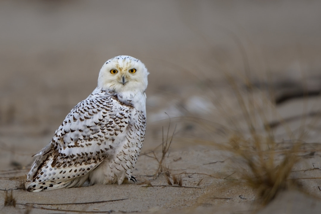 Photograph Bubo by Darek Siusta on 500px