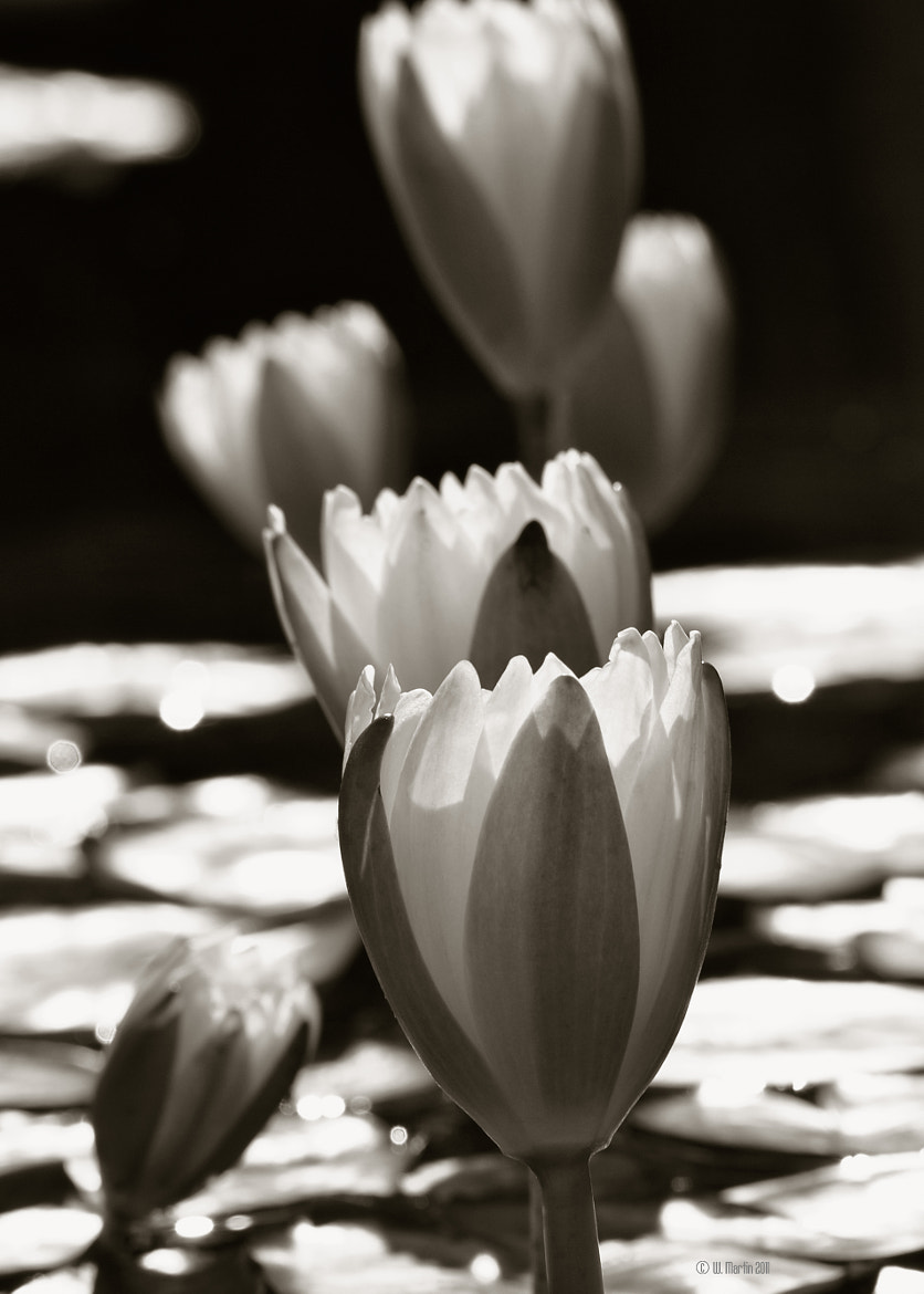Photograph Water Lily's in the Sepia by William Martin on 500px