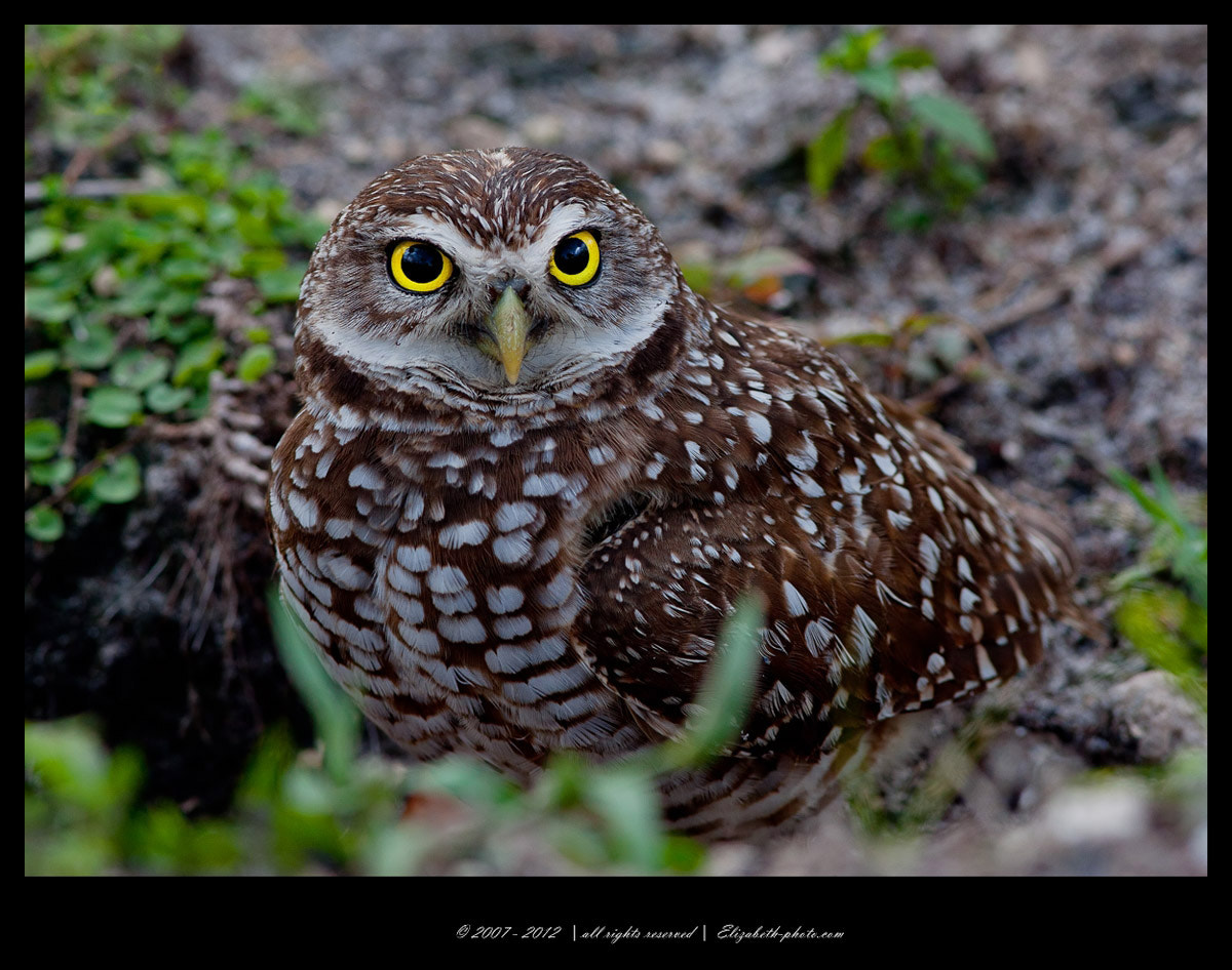 Photograph Burrowing Owl by Elizabeth  E. on 500px