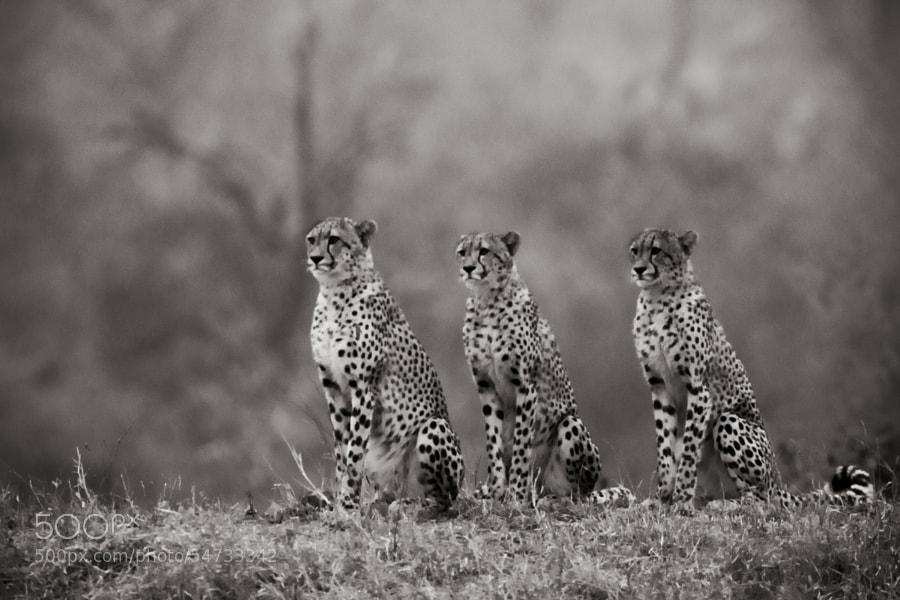 Cheetah BW by Wayne Holt on 500px.com