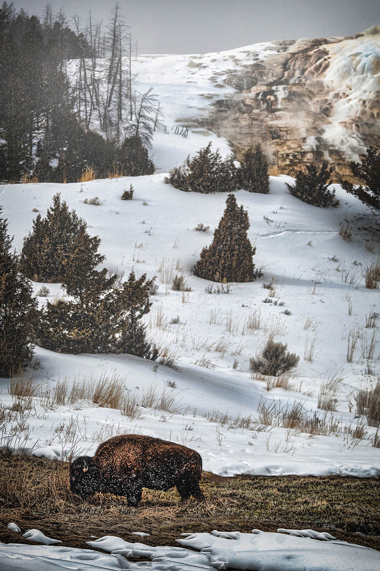 Photograph Bison Bites by Scott Kublin on 500px