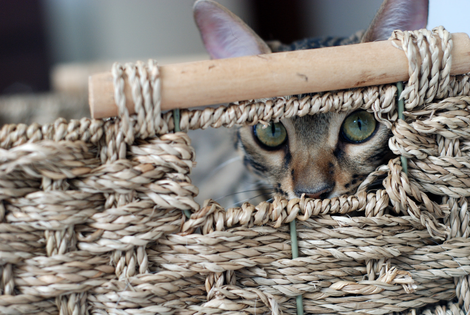 Photograph Bengal Cat Basket  by Brandon Menzies on 500px
