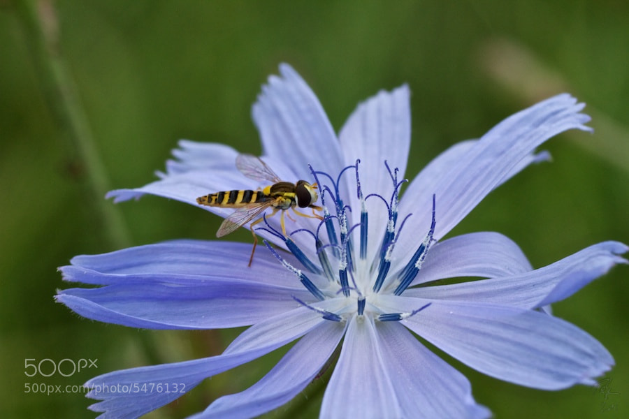 Photograph Blue Flower 1 by Benno Pütz on 500px