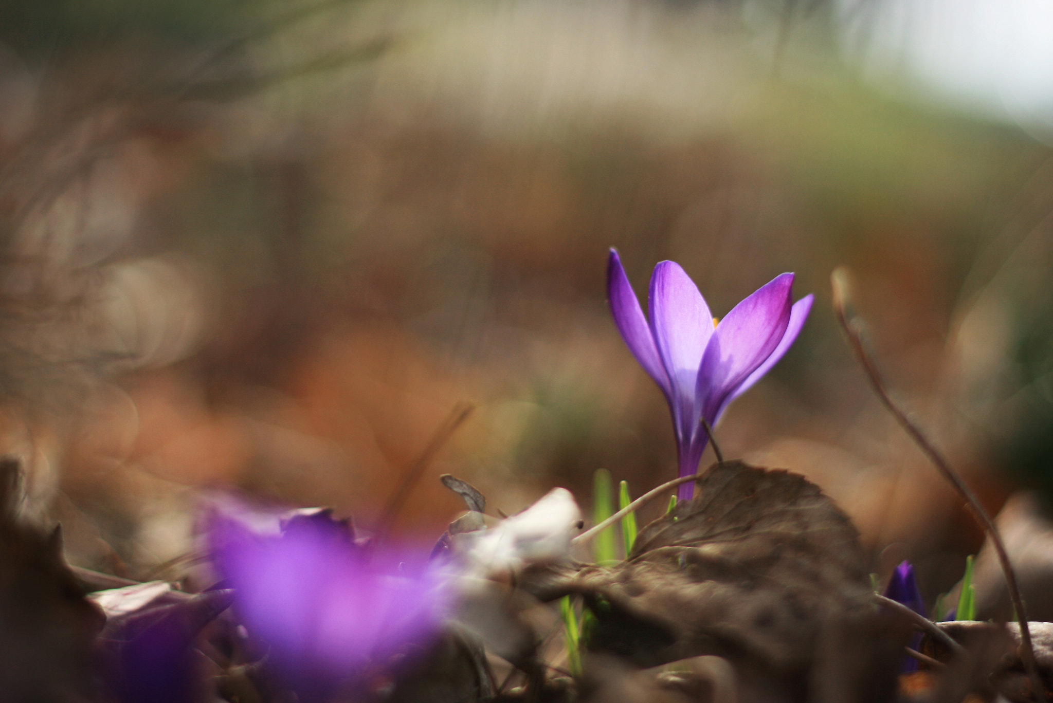 Photograph purple crocus by Jennifer Nish on 500px