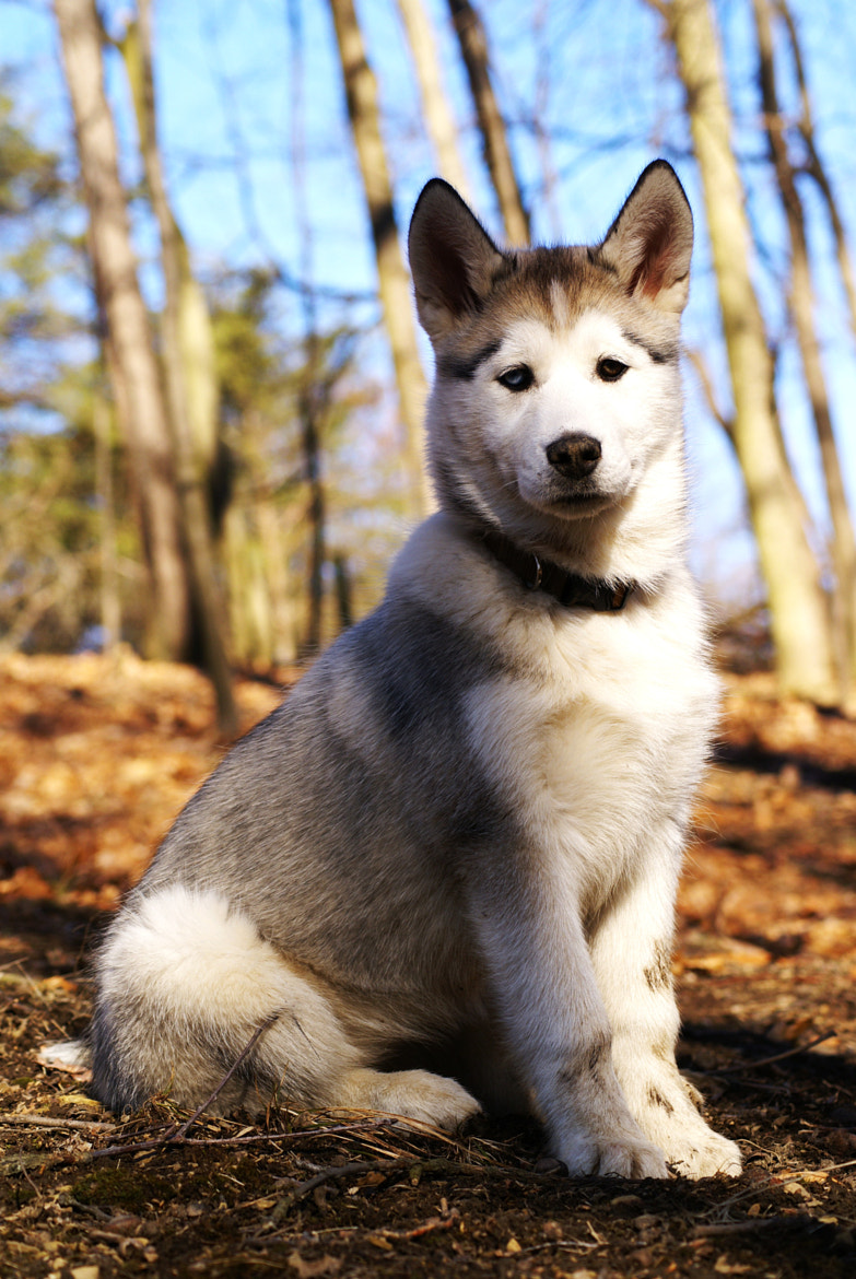 Photograph Myah the Husky Pup by Erika Kraus on 500px