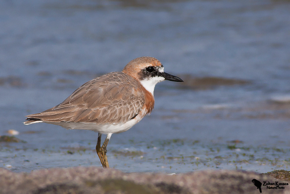 Photograph Greater Sand Plover (Charadrius leschenaultii) by Zoltan Kovacs on 500px