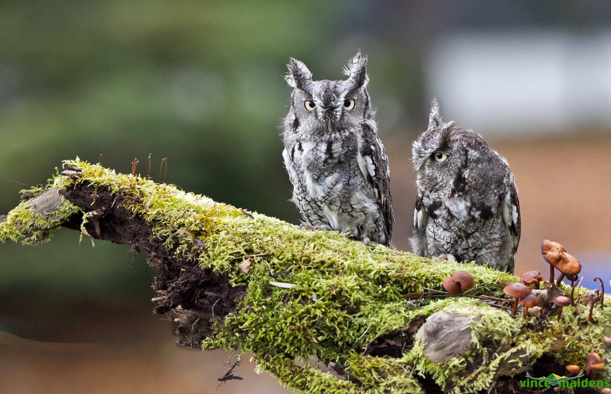 Photograph Bumps on a log - Eastern Screech Owls by Vince Maidens on 500px