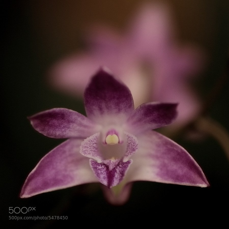 Orchid II by Klas Almqvist (Cobra65) on 500px.com