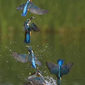 Kingfisher eruption sequence by Tony House (TonyHouse)) on 500px.com