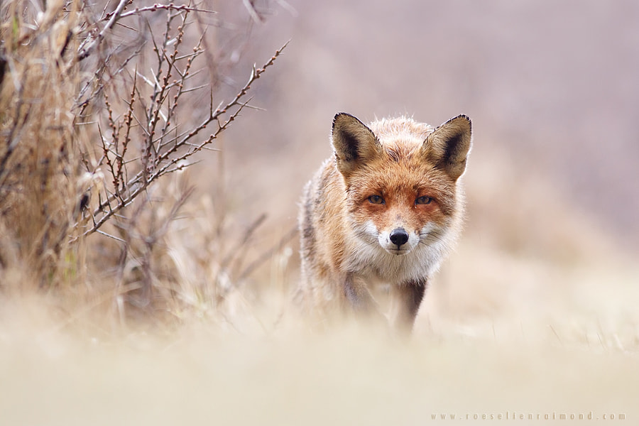 Fox by Roeselien Raimond on 500px.com