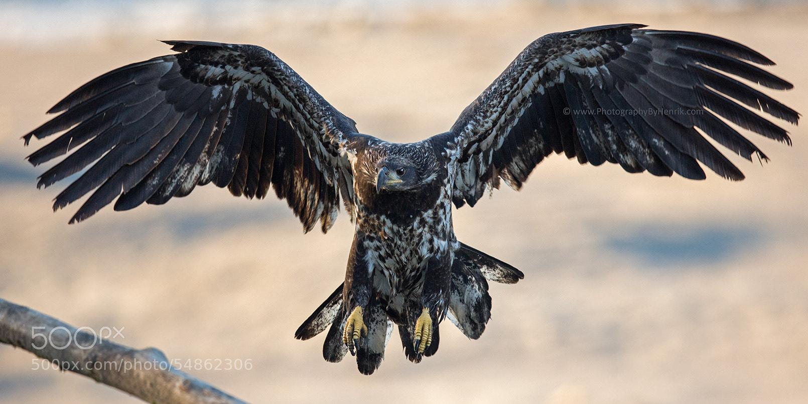 Photograph Juvenile Bald Eagle by Henrik Nilsson on 500px
