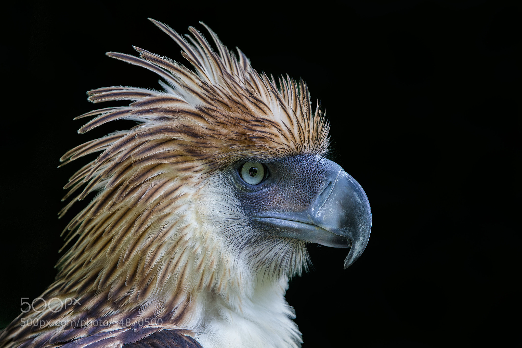 Photograph Philippine Eagle by Jon Chua on 500px Most Epic Picture Ever Taken