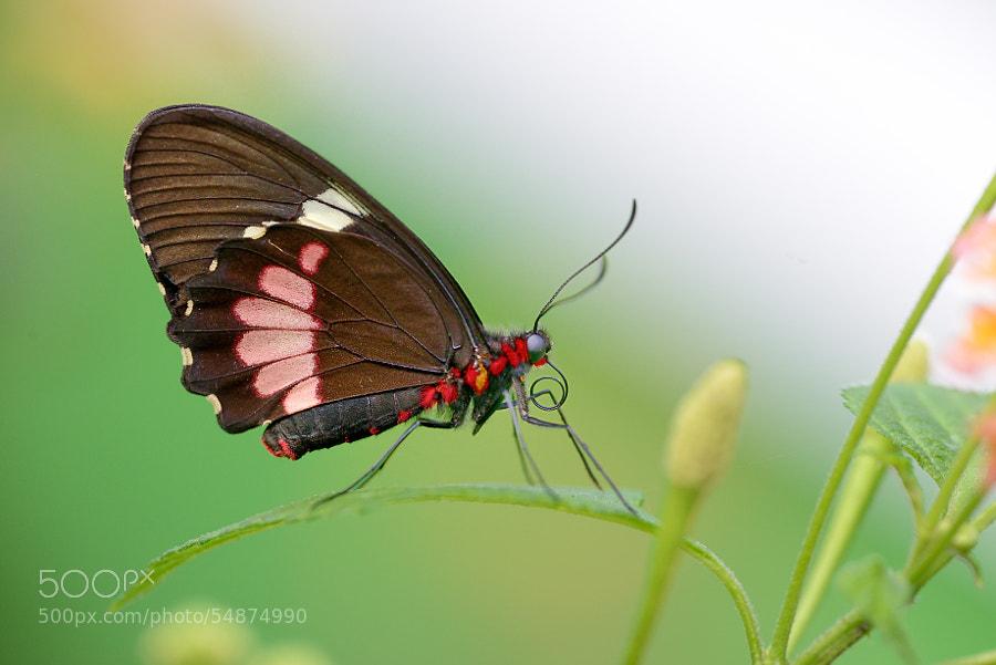 Photograph </p> <p>tximeleta gorri-beltza by gorka orexa on 500px