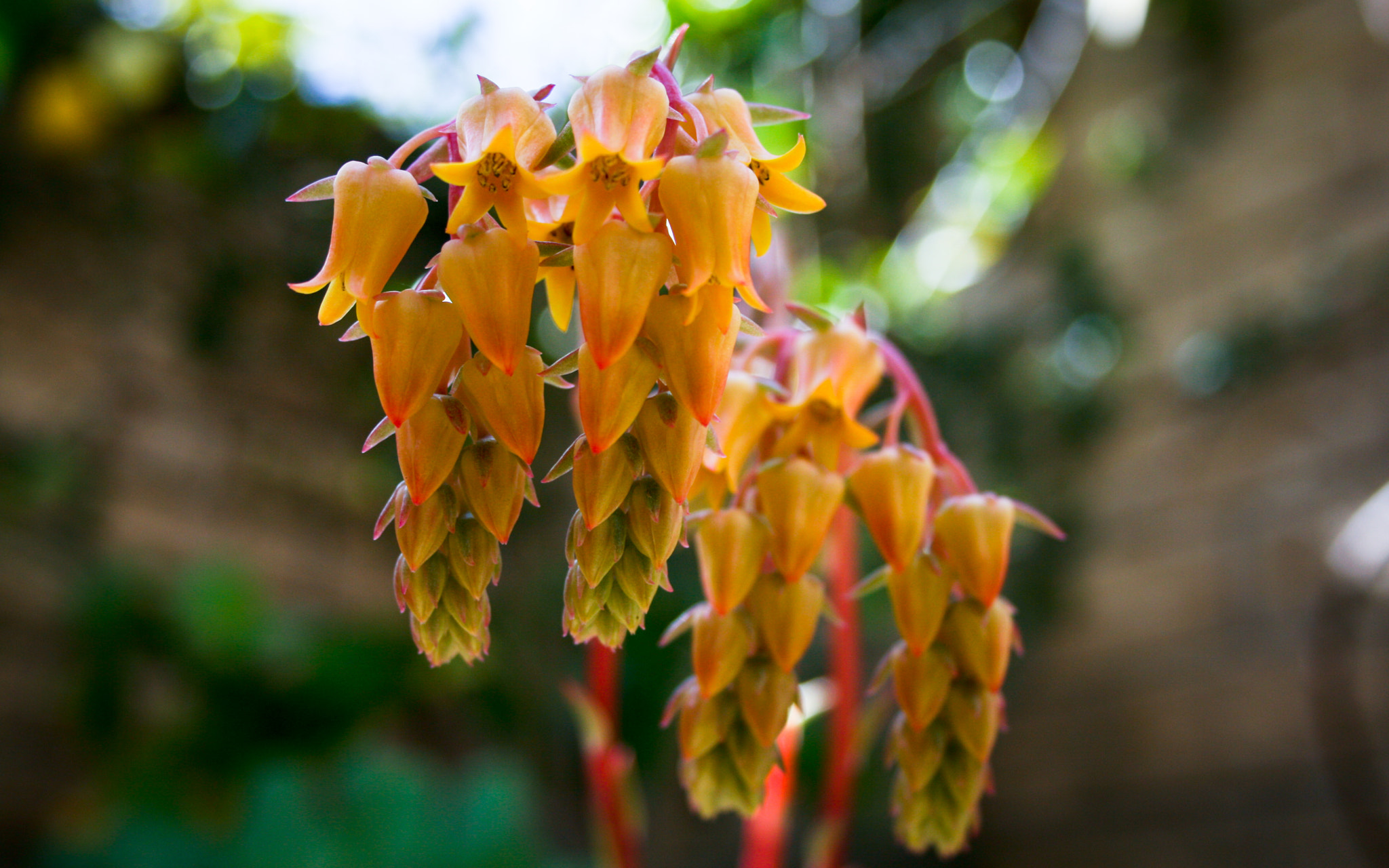 Photograph Golden Succulent Blossoms by Terry Majamaki on 500px
