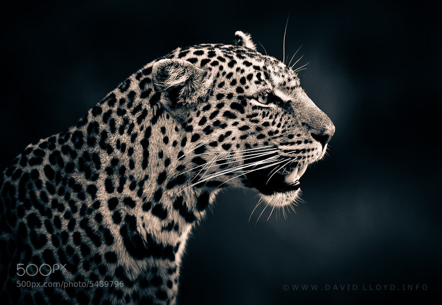 Photograph Black and White Leopard by David Lloyd on 500px