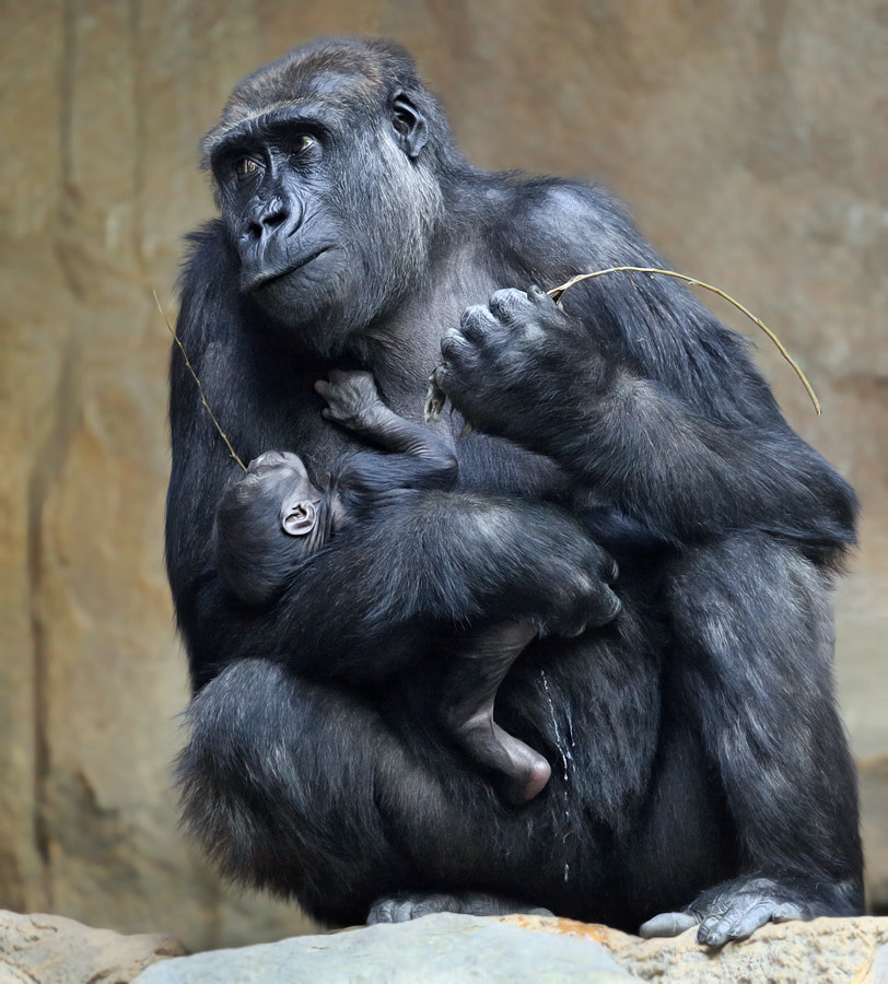 Photograph 2 weeks old gorilla cub by Klaus Wiese on 500px