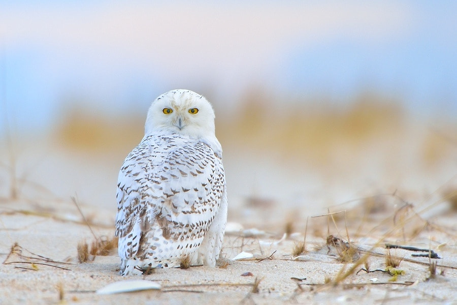 Photograph Snowy Owl by Edmund  Lalik on 500px