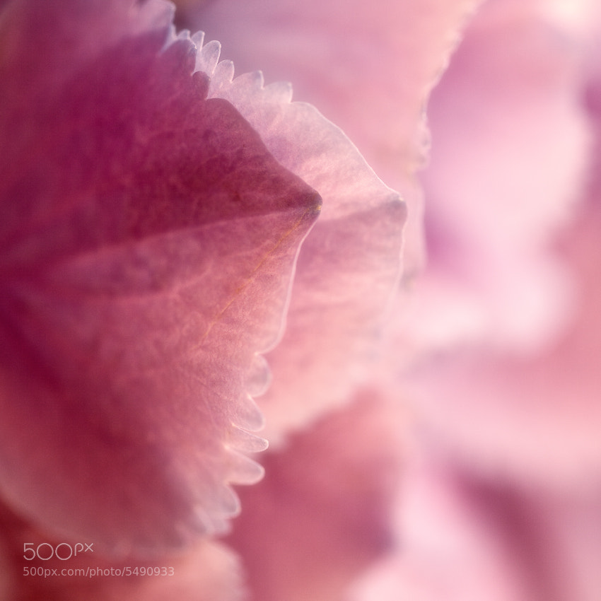 Photograph Pink Beauty by Andrea Jancova on 500px