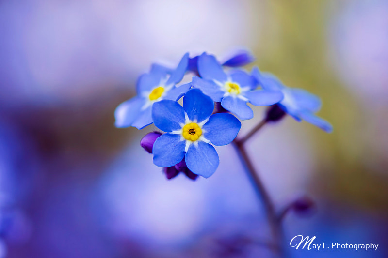 Photograph Forget-Me-Not by May L. on 500px