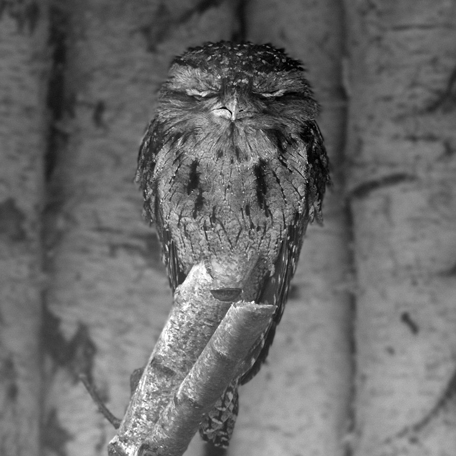 Photograph my first (sleepy) owl by Katharina Franz on 500px