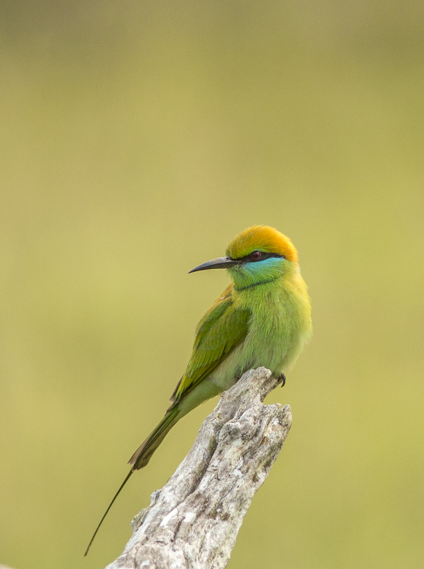 Photograph Little Green bee-eater by Beena Balasubramaniam on 500px