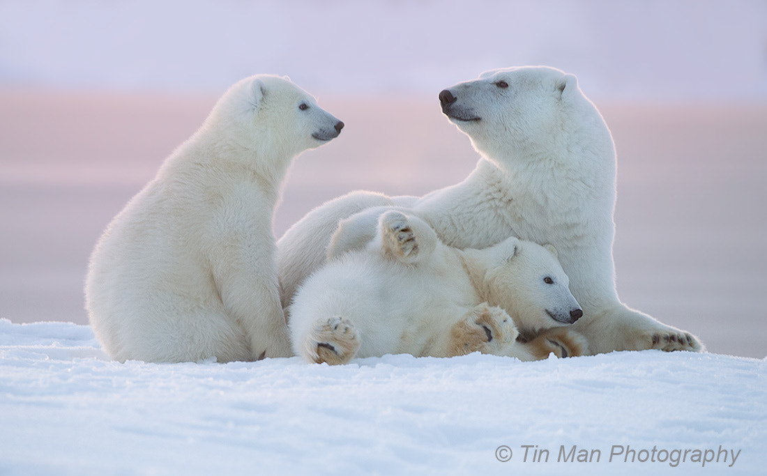 Photograph Polar Bear Family at Sunset by Tin Man on 500px