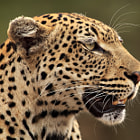 A profile of leopardess Rockfig Jr, who inhabits the Timbavati region of Greater Kruger National Park in Mpumalanga, South Africa.