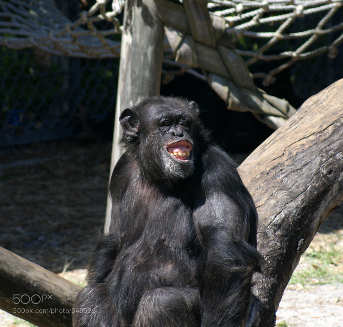 Photograph Funny chimp by David Jablonski on 500px