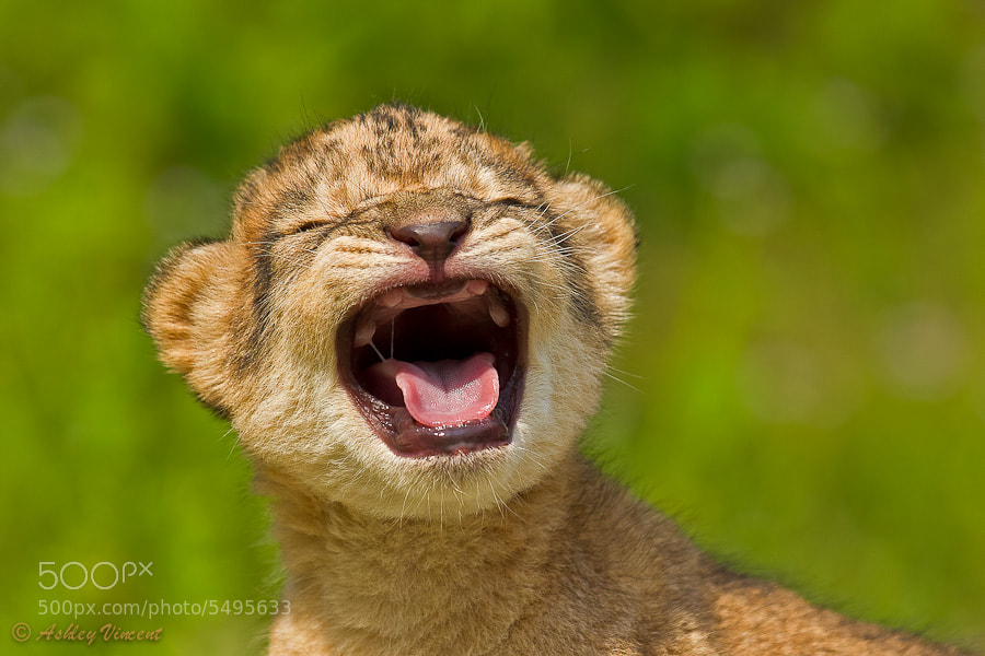Photograph Roaring Practise by Ashley Vincent on 500px