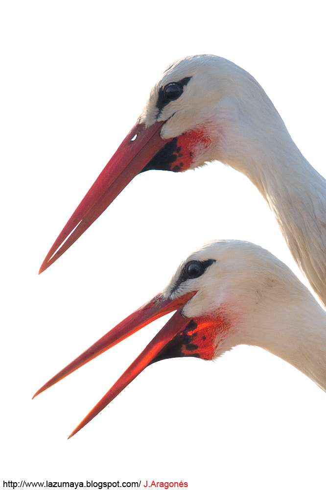 Photograph White storks in high key by Juan  Aragonés on 500px