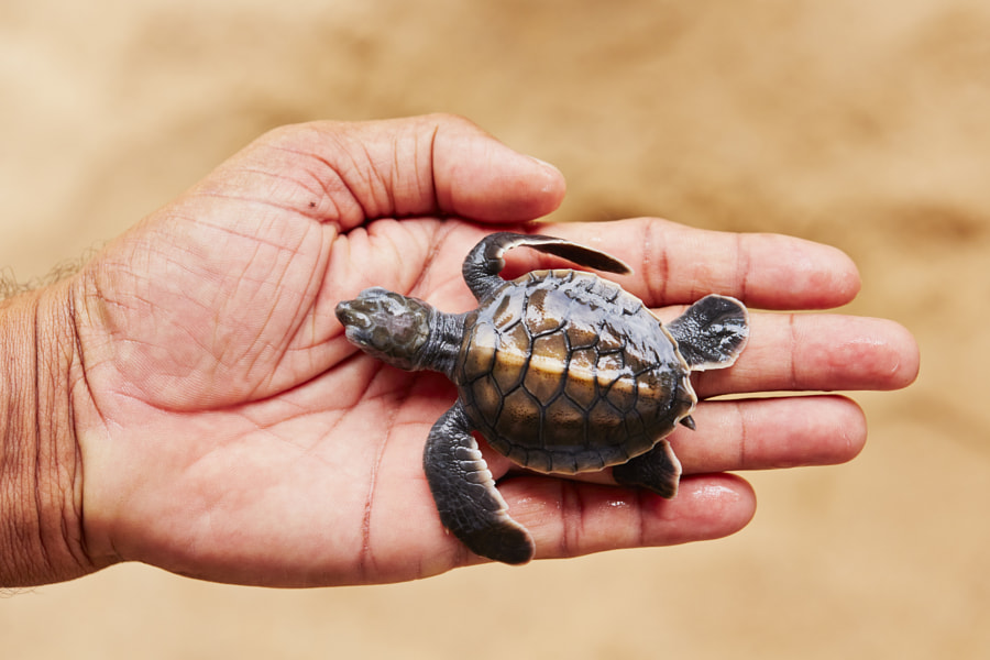 Photograph Newborn of turtle by Jaromír Chalabala on 500px