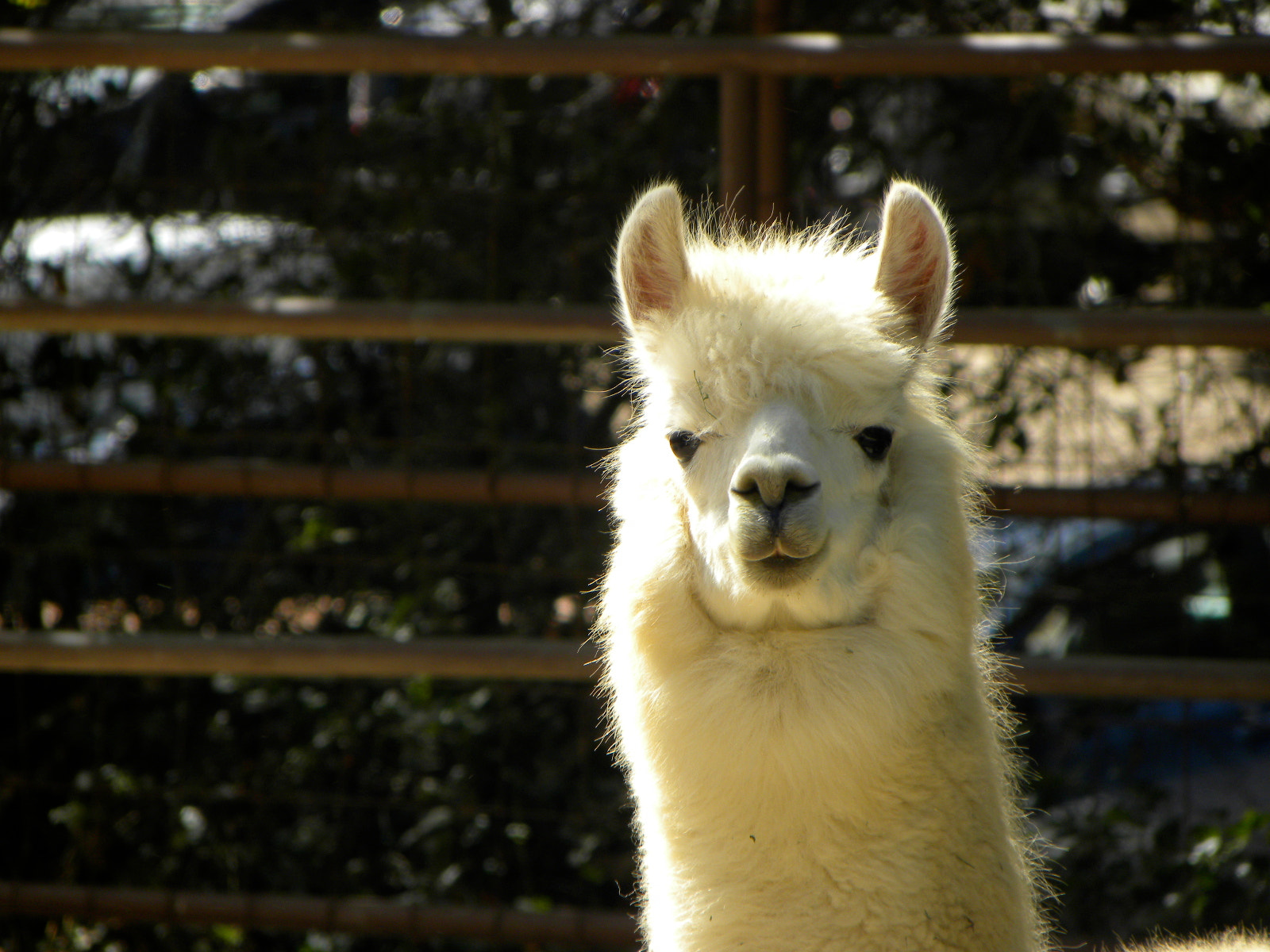 Photograph Alpaca by Katayoon Dej-Panah on 500px