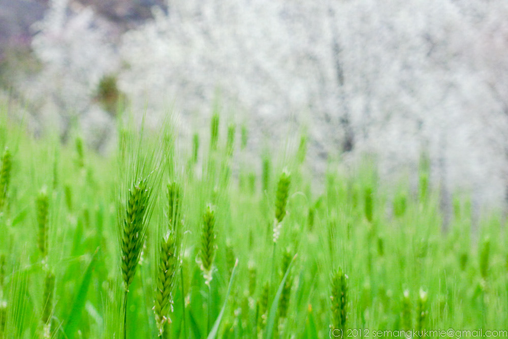 Photograph Wheat and Cherry blossom by Ricky S on 500px