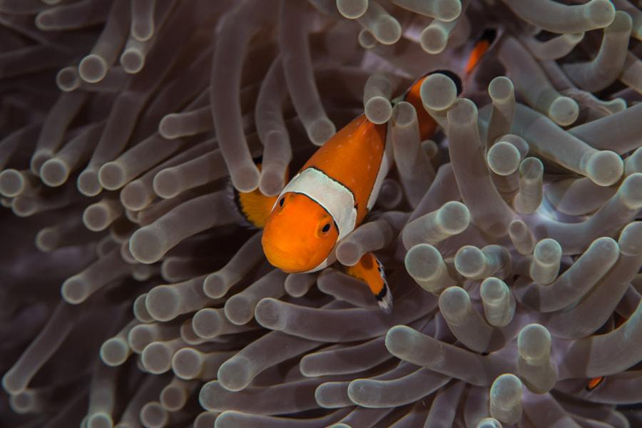 Ocellaris clownfish by DIVID Katarzyna Anyzewska-Sak on 500px.com