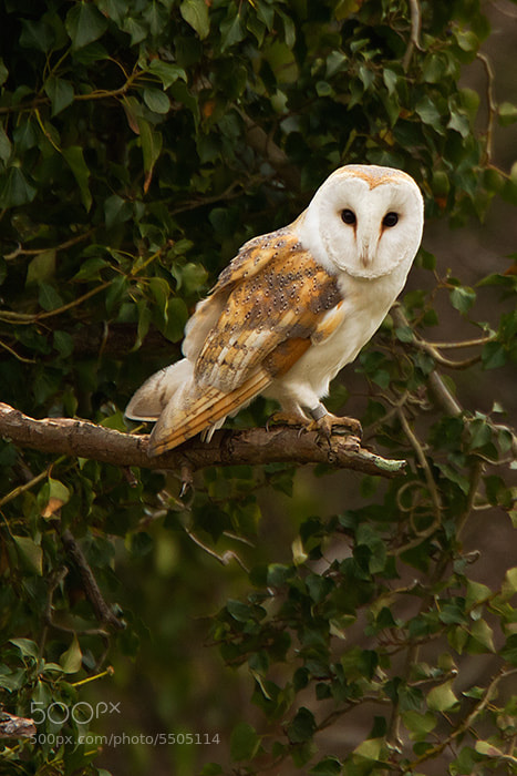 Photograph Barn Owl by rosie green on 500px
