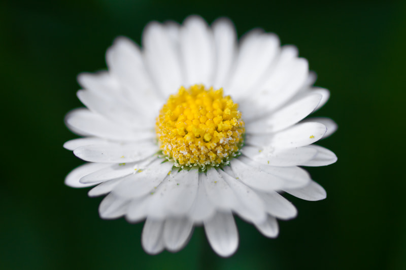 Photograph lil daisy by Stefan Pasch on 500px