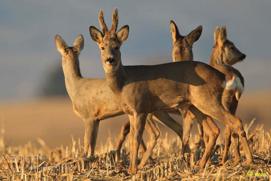 Photograph Roe deer in Springtime by Ju Wes on 500px