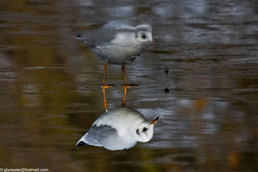 Black headed gull on thin autumnal ice - London, UK  This black headed gull (chroicocephalus ridibundus) is pecking at a bug which is in midair in this picture - that is why the 2 black bugs are so far apart and not touching like the 2 bird's feet are. The picture has been inverted so that the gull's reflection is on top.  In summer, the adult black headed gull has a chocolate-brown head (not black, although it does look black from a distance), pale grey body, black tips to the primary wing feathers, and red bill and legs. The hood is lost in winter, leaving just 2 dark spots. It breeds in colonies in large reed beds or marshes, or on islands in lakes, nesting on the ground. Like most gulls, it is highly gregarious in winter, both when feeding or in evening roosts. It is not a pelagic (living in open oceans or seas) species and is usually found far from coasts.