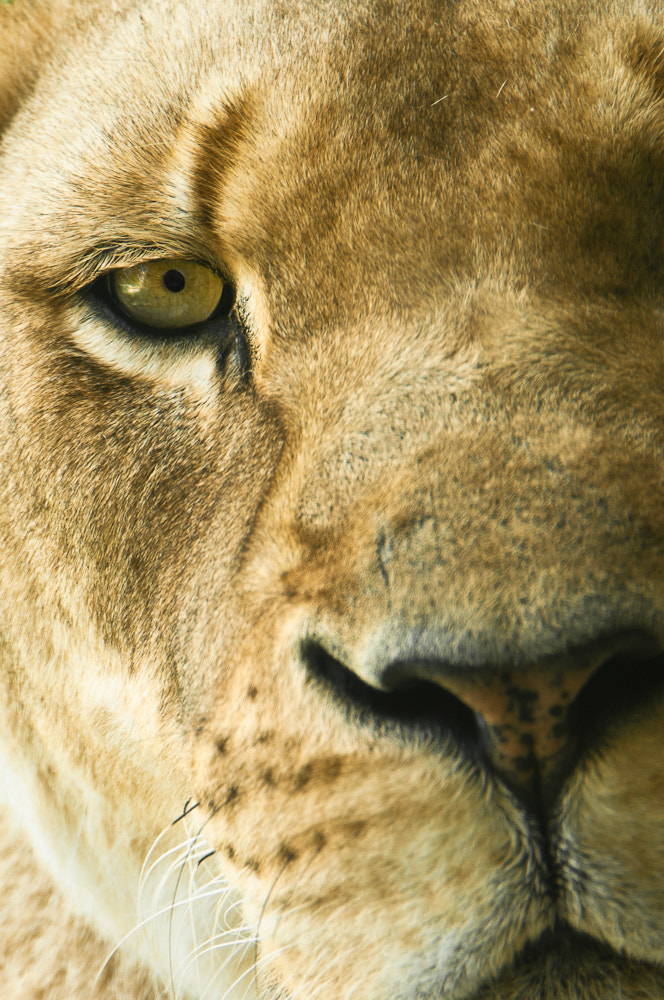 Photograph Lion's Eye by Bill Araujo on 500px