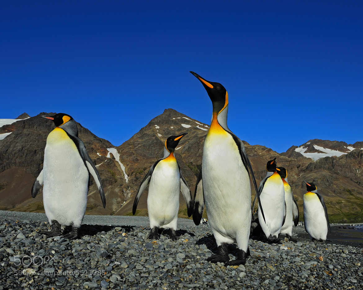 Photograph King Penguins - Road Block by Tony Beck on 500px