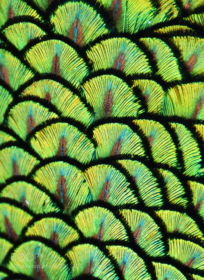 Photograph Peacock Scales II by Michael Fitzsimmons on 500px