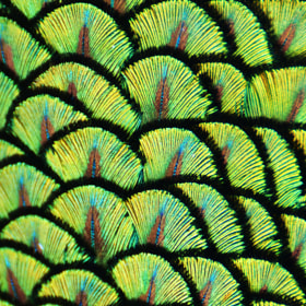 Peacock Scales II by Michael Fitzsimmons (MFitz)) on 500px.com