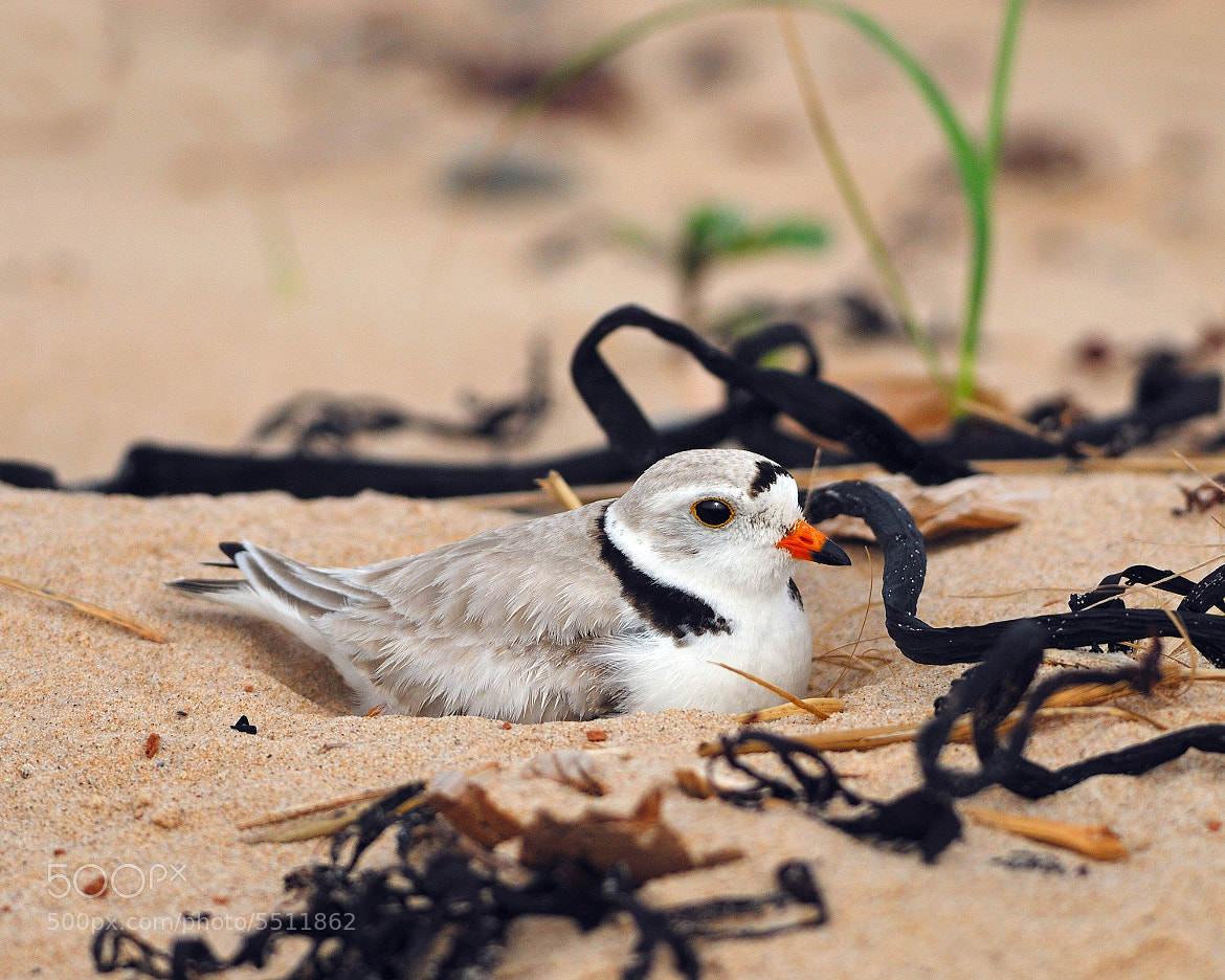 Photograph Piping Plover  by Tony Beck on 500px