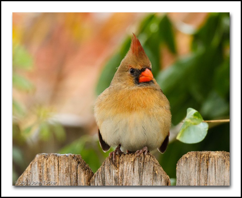 Photograph Northern Cardinal (F) by John Tucker on 500px
