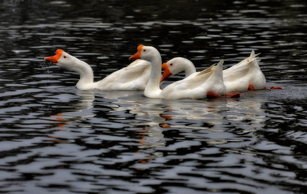 Photograph Trumpeters by Greg McLemore on 500px