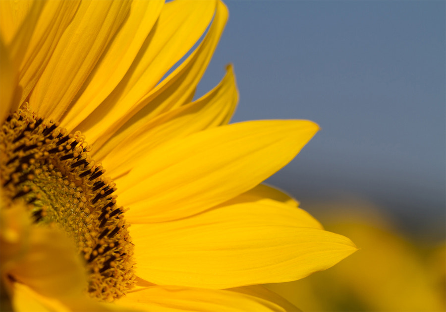 Photograph Sunflower by Benjamin Nocke on 500px