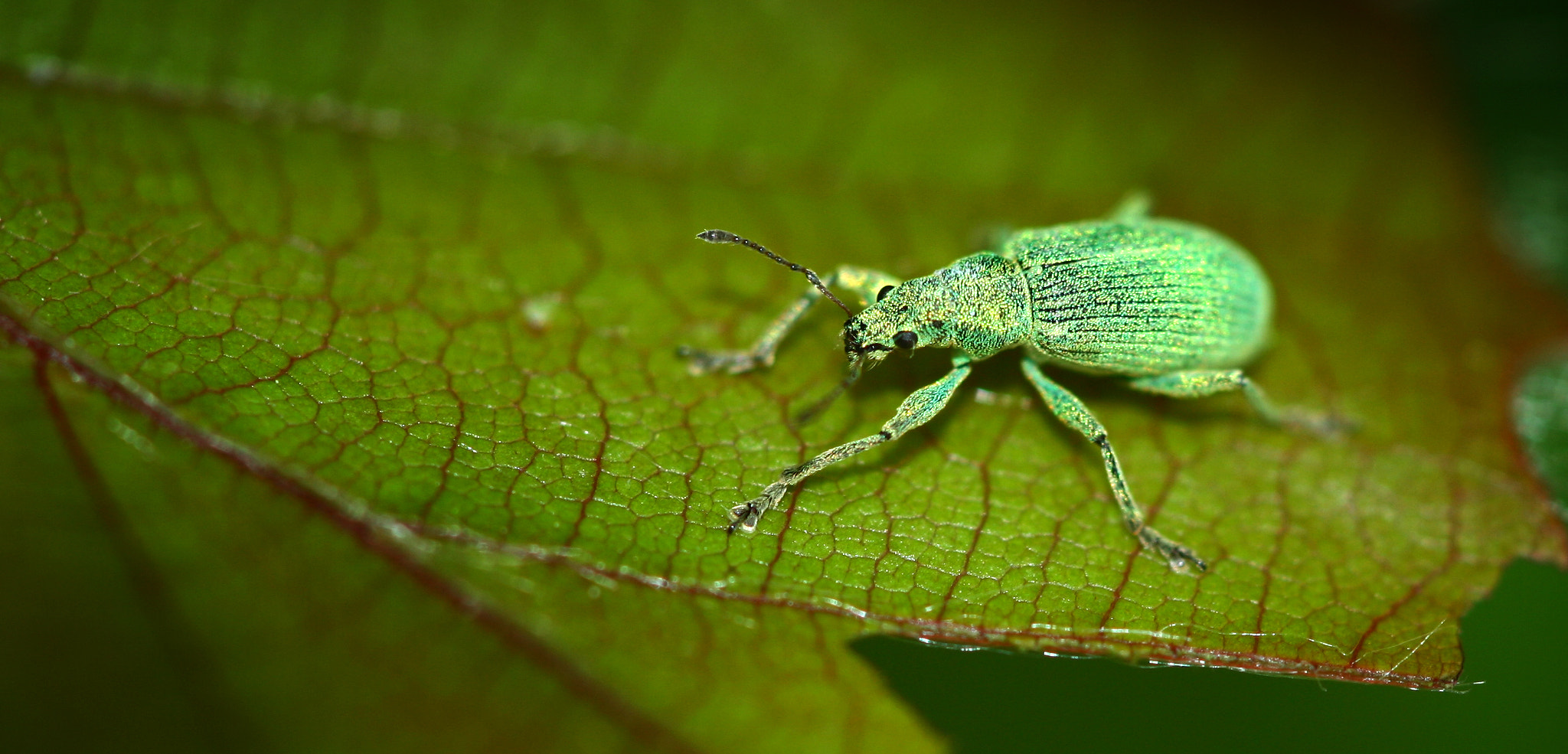 Photograph Beetle on leaf by Thijs Decoene on 500px