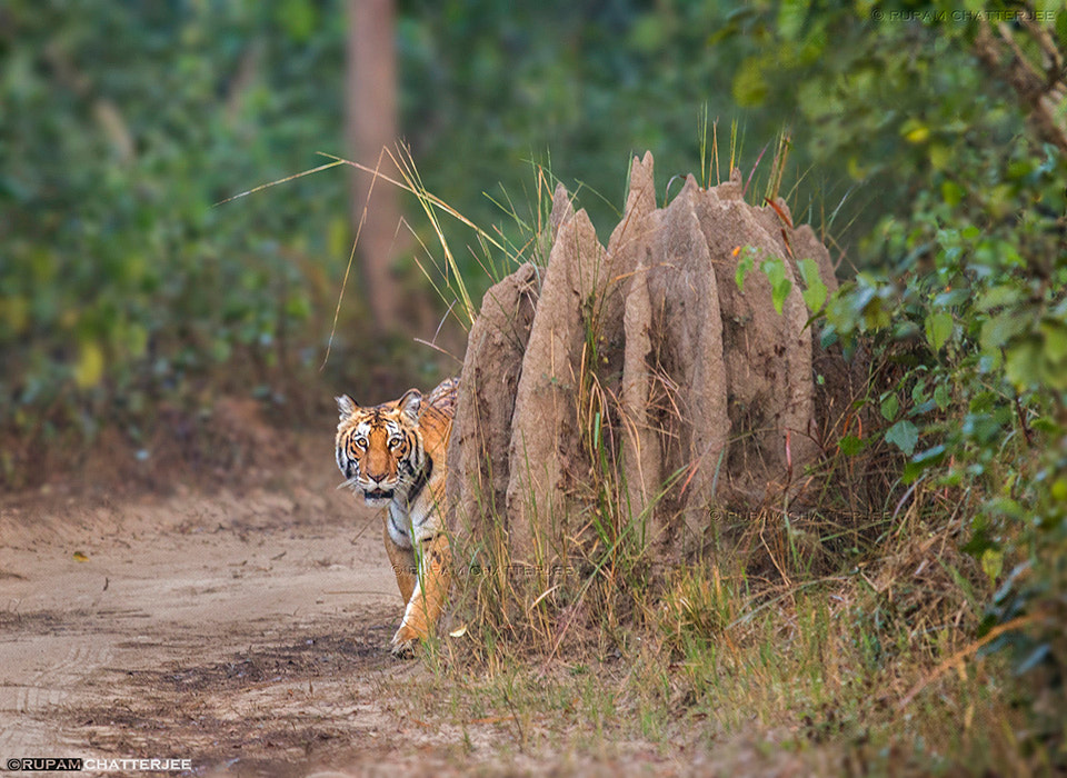 Photograph Tigress approaching by Rupam Chatterjee on 500px