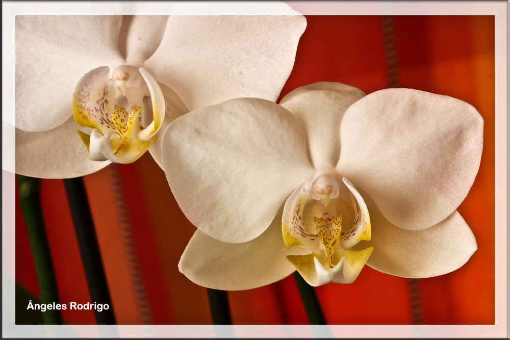 Photograph Orquídeas by Angie  on 500px